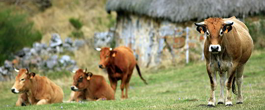 Cows in Somiedo