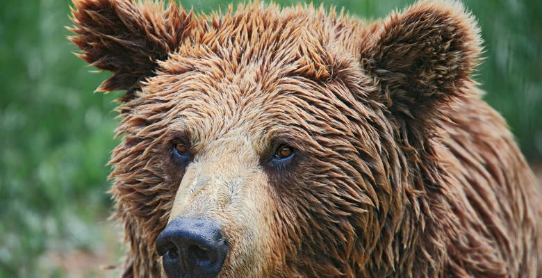 Cantabrian brown bear