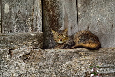 A cat in an Asturian raised granary